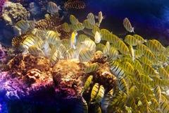 Gruppe ist es gelbe schwarze korallenrote Fische Lizenzfreies Stockfoto
