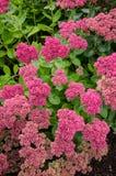 Gruppe Johanniskrautanlagen in der Blüte stockbild