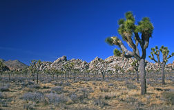 Gruppe Joshua-Bäume Stockfotos
