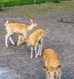 Gruppe junge kleine Rotwildtiere an der Farm der Tiere Lizenzfreies Stockbild
