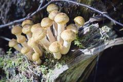Gruppe junge Knöpfe von essbaren Pilzen vom Armillaria Stockfoto