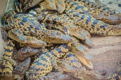 Gruppe junge Krokodile aalen sich im konkreten Teich Croc Stockbilder