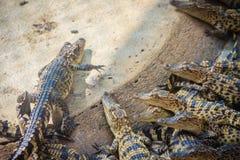Gruppe junge Krokodile aalen sich im konkreten Teich Croc Lizenzfreies Stockfoto