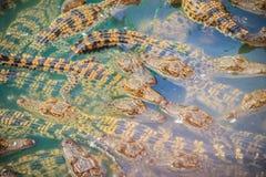 Gruppe junge Krokodile aalen sich im konkreten Teich Croc Lizenzfreie Stockfotos