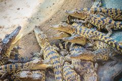 Gruppe junge Krokodile aalen sich im konkreten Teich Croc Stockfotografie