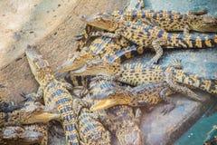 Gruppe junge Krokodile aalen sich im konkreten Teich Croc Stockfotos