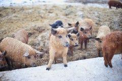 Gruppe junge mangalitsa Schweine im Winter auf dem Schnee Stockfotos