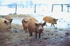Gruppe junge mangalitsa Schweine im Winter auf dem Schnee Lizenzfreie Stockfotos