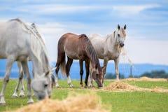 Gruppe junge Pferde, die Heu auf Weide im Sommer essen stockfoto