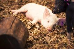 Gruppe junge Schweine Lizenzfreies Stockbild