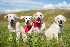 Gruppe junges golden retriever verfolgt die Aufstellung auf dem Gebiet am sonnigen Tag im Sommer lizenzfreie stockbilder