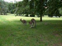 Gruppe Känguru-Fütterung stock video