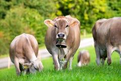 Gruppe Kühe auf dem Gebiet Lizenzfreies Stockbild