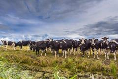 Gruppe Kühe auf einem Gebiet stockfotografie