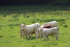 Gruppe Kühe auf grüner Wiese Lizenzfreie Stockfotografie