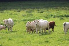 Gruppe Kühe auf grüner Wiese Stockfotos