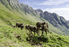 Gruppe Kühe in den Alpen Lizenzfreies Stockfoto
