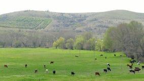 Gruppe Kühe, die in Hilly Area weiden lassen stock footage