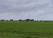 Gruppe Kühe in Holland Stockbilder