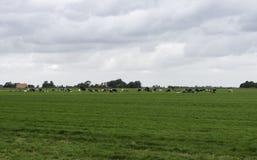 Gruppe Kühe in Holland Lizenzfreies Stockbild