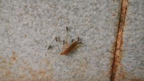 Gruppe 4K Ameisen, die eine tote Schabe tragen stock video footage