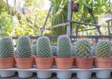 Gruppe Kaktuspflanzen im Topf am Garten Stockbild