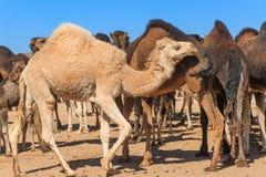 Gruppe Kamele in der Wüste lizenzfreies stockfoto