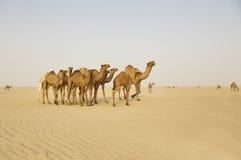 Gruppe Kamele mitten in der Wüste Stockbilder