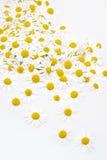 Gruppe Kamillenblumenköpfe getrennt auf Weiß Stockfotos