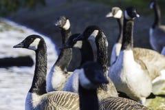 Gruppe Kanada-Gänse, die herum auf der Seite eines Teichs schauen stockbild