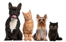 Gruppe Katzen und Hunde, die vor Weiß sitzen Lizenzfreie Stockbilder