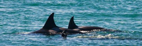 Gruppe Killerwale im Wasser Rückenflosse Wieden Halbinsel Valdes argentinien Lizenzfreies Stockfoto