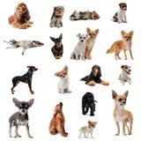 Gruppe kleine Hunde stockfoto