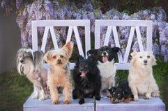 Gruppe kleine Hunde, die auf beunruhigtem Stuhl sitzen Stockbilder