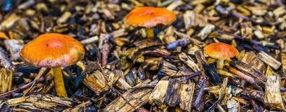 Gruppe kleine kleine orange Pilze mit rundem Kappenmakroabschluß oben lizenzfreie stockfotografie
