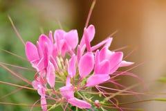 Gruppe kleine rosa Blumen lizenzfreie stockbilder