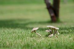 Gruppe kleine weiße Pilze im Gras Stockbild