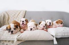Gruppe kleine Welpen der englischen Bulldoggen liegen auf Kissen eines Weiche im Reinraum Stockfotos