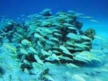 Gruppe korallenrote Fische im Wasser. Stockbilder