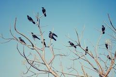Gruppe Krähen, die auf den bloßen Niederlassungen sitzen Stockfotos