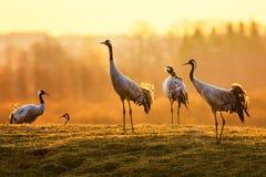 Gruppe Kranvögel morgens auf nassem Gras Stockbild