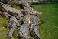 Gruppe Krokodile Lizenzfreies Stockfoto