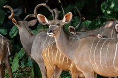 Gruppe Kudu-Antilopen Stockfotografie