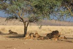 Gruppe Löwen, die im Schatten eines Baums in der Savanne stillstehen Lizenzfreie Stockfotografie