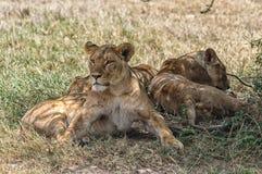 Gruppe Löwinnen Stockbild