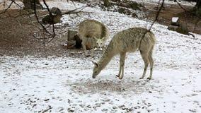 Gruppe Lamas, die in Winter einziehen stock video footage