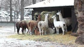Gruppe Lamas, die in Winter einziehen stock video