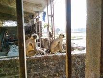 Gruppe langoor Affen Lizenzfreie Stockbilder