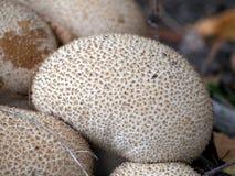 Gruppe Lykoperdon perlatum - allgemeiner Puffball Lizenzfreies Stockbild