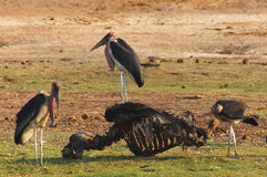 Gruppe Marabouts ernährt auf dem Skelett eines Büffels Lizenzfreie Stockbilder